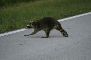 Woburn, MA Raccoon